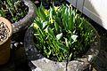 Narcissus 'Tête á Tête' at Nuthurst, West Sussex, England 02.jpg