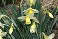 Narcissus Cold Overton 0zz.jpg