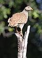 Natal Spurfowl (or Natal Francolin), Pternistis natalensis, at Mapungubwe National Park, South Africa (18197485842).jpg