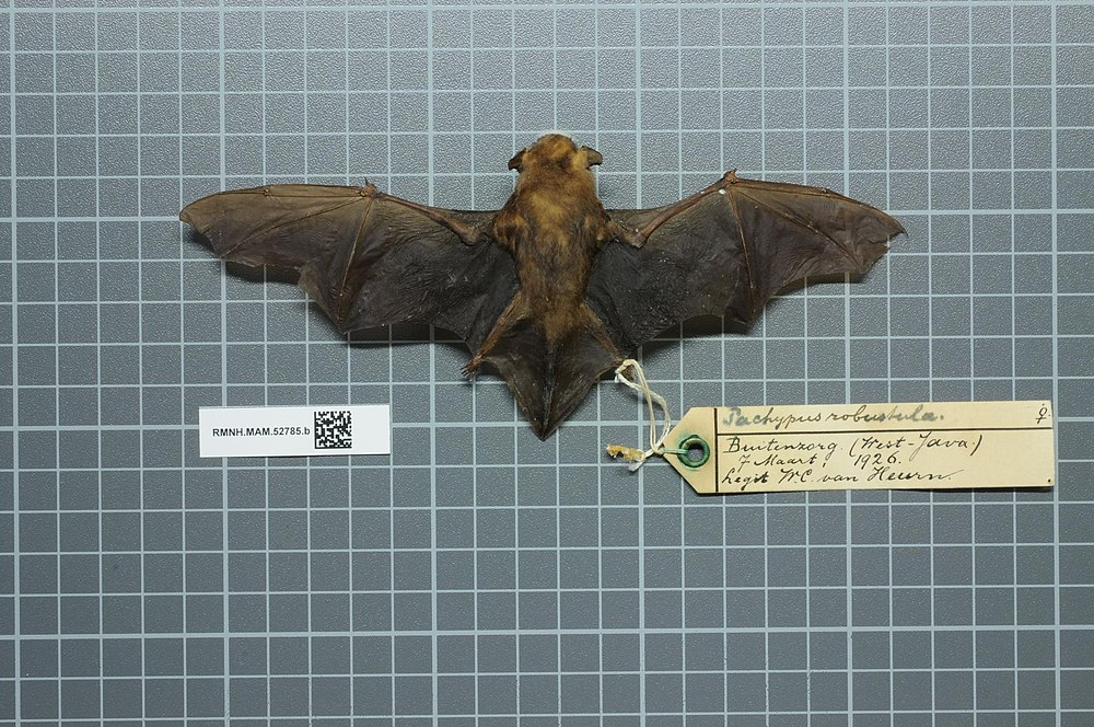 The average litter size of a Greater bamboo bat is 2