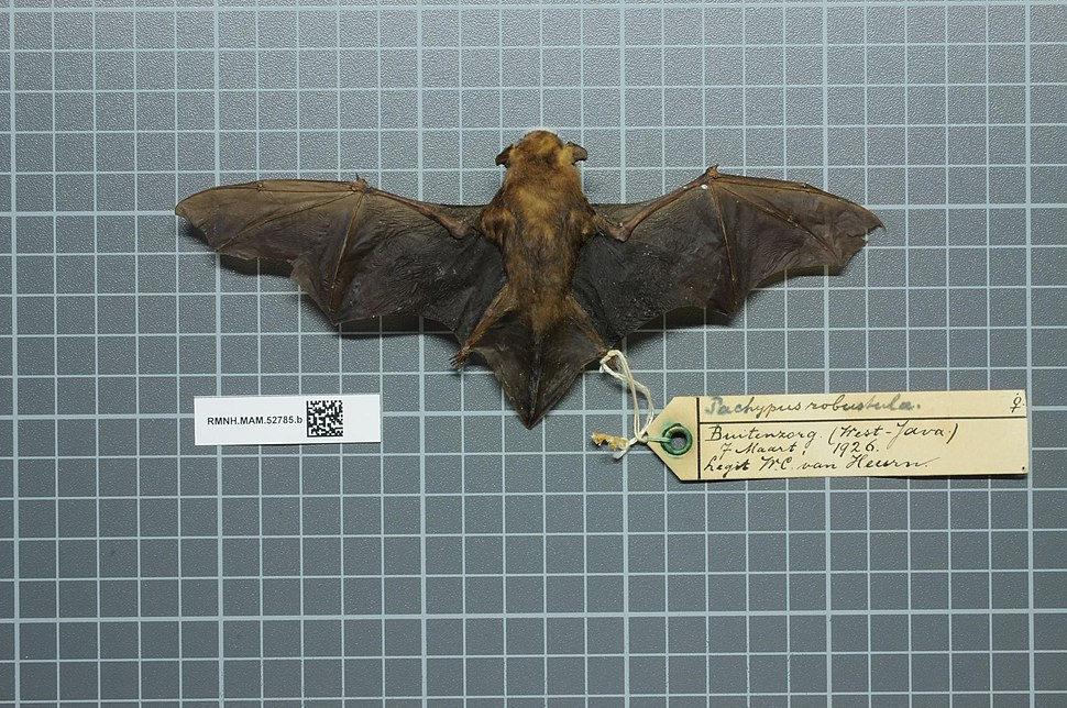 Naturalis Biodiversity Center - RMNH.MAM.52785.b dor - Tylonycteris robustula - skin.jpeg