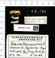 Naturalis Biodiversity Center - ZMA.MAM.11166.a lat - Mops condylurus - skull.jpeg