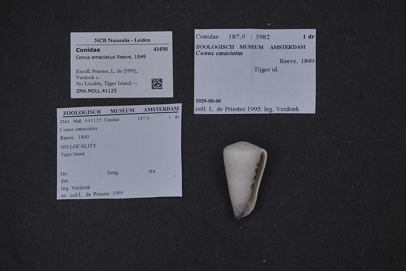 File:Naturalis Biodiversity Center - ZMA.MOLL.41125 - Conus emaciatus Reeve, 1849 - Conidae - Mollusc shell.jpeg