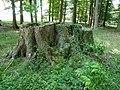 Naturdenkmal Siebenstämmige Buche Ostenfelde Melle - Datei 3.jpg