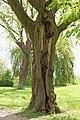 Naturdenkmal Sommerlinde im Lübecker Eschenburgpark ausgehöhlter Stammbereich.jpg