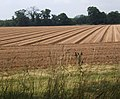 Neat ridges and furrows alongside Waldringfield Road - geograph.org.uk - 894181.jpg