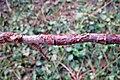 Nectria galligena rouge.jpg