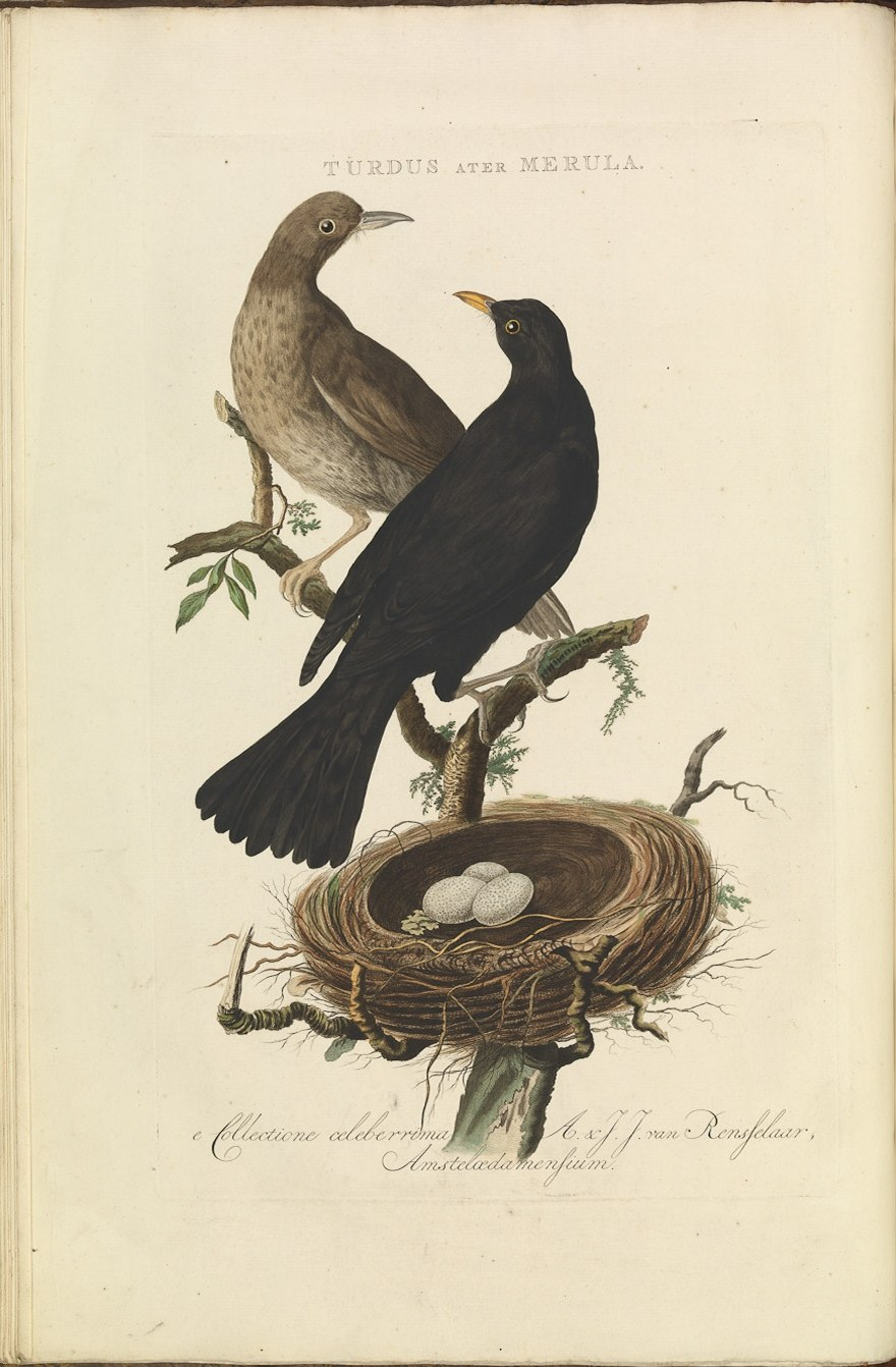 Nederlandsche vogelen (KB) - Turdus merula (016f)