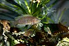 Neolamprologus multifasciatus male