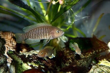 Neolamprologus multifasciatus male.JPG