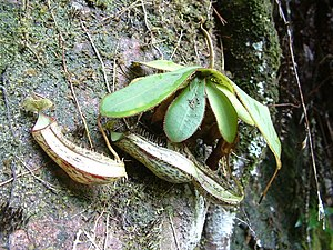 Adnation - The tropical pitcher plant Nepenthes adnata is named for its adnate leaf bases