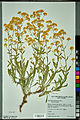Neuchâtel Herbarium - Aurinia saxatilis - NEU000099061.jpg
