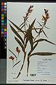 Neuchâtel Herbarium - Cephalanthera rubra - NEU000038361.jpg