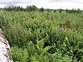New plantation, Hallmuir - geograph.org.uk - 486257.jpg
