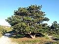 Noordwijk - Coepelduyn - Grove Den (Pinus sylvestris).jpg