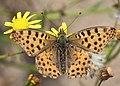 Noordwijk - Kleine parelmoervlinder (Issoria lathonia) v4.jpg