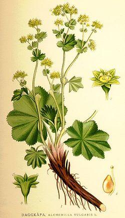 Nordens flora Alchemilla vulgaris.jpg