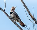 Northern Flicker (f) (37647773965).jpg