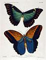 NovaraExpZoologischeTheilLepidopteraAtlasTaf64.jpg