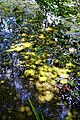 Nuphar lutea native waterlily at Woods Mill, Sussex Wildlife Trust, England 03.jpg