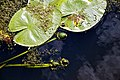 Nuphar lutea native waterlily at Woods Mill, Sussex Wildlife Trust, England 11.jpg