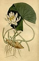 Nymphaea odorata Bot. Mag. 40. 1652. 1814.jpg