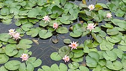 Nymphaea tetragona Mokpo South Korea1.jpg