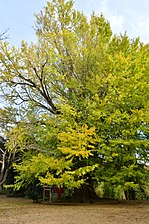 O-icho ni-go (Big ginkgo tree No.2) which turned yellow of Sairen-ji Temple in Namegata city,IBARAKI,Japan.jpg