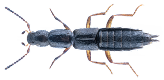 <i>Ochthephilum fracticorne</i> Species of beetle