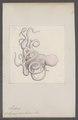 Octopus cirrhosus - - Print - Iconographia Zoologica - Special Collections University of Amsterdam - UBAINV0274 090 02 0006.tif