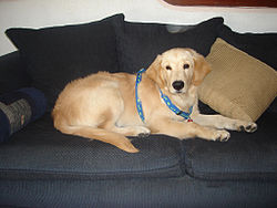 http://upload.wikimedia.org/wikipedia/commons/thumb/8/84/Odie-the-Golden-Retriever.JPG/250px-Odie-the-Golden-Retriever.JPG