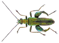 Oedemera nobilis (Scopoli, 1763) Male (32720876490).png