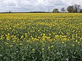 Oilseed Rape Field - geograph.org.uk - 792924.jpg