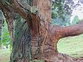 Old tree by puke.jpg