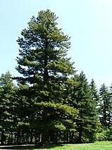 Oldest Pinus peuce.jpg