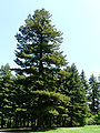 Oldest Pinus peuce.jpg