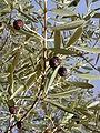 Olea europaea sylvestris - fruit.JPG