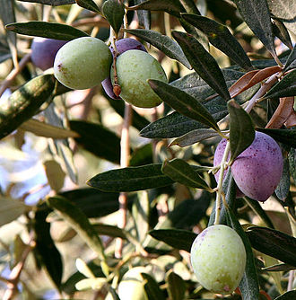 Olive - Olea europaea, near the Dead Sea, Jordan