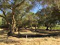 Olivträd Korfu.jpg