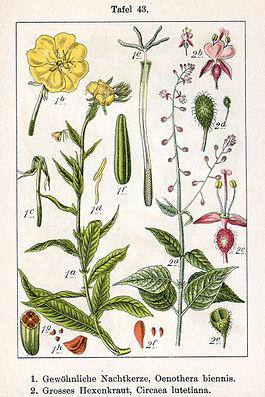 1. Gewöhnliche Nachtkerze (Oenothera biennis) und 2. Großes Hexenkraut (Circaea lutetiana)
