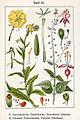 Onagraceae spp Sturm43.jpg