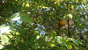 Fruiting Oncoba spinosa. Taken at the Universi...