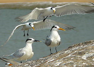 Sandwich tern - Sandwich tern (left) among lesser crested terns