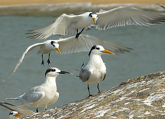 Lesser crested tern - Many lesser crested terns with a solitary Sandwich tern clicked in  Kannur, Kerala, India.