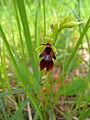 Ophrys insectifera flower2.JPG
