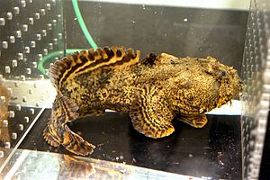 Oyster toadfish - Oyster toadfish