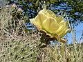 Opuntia polyacantha 30.jpg