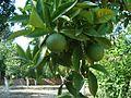 Orange grove beldibi.jpg