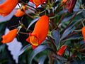 Orangeflower9.jpg