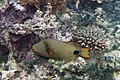 Orangelined triggerfish Balistapus undulates (5846785319).jpg